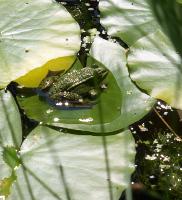 Gelassen auf seinem Blatt: Der Frosch (c)2009 HJKiener