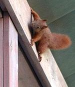 Hektische Betriebsamkeit bei Familie Eichhörnchen